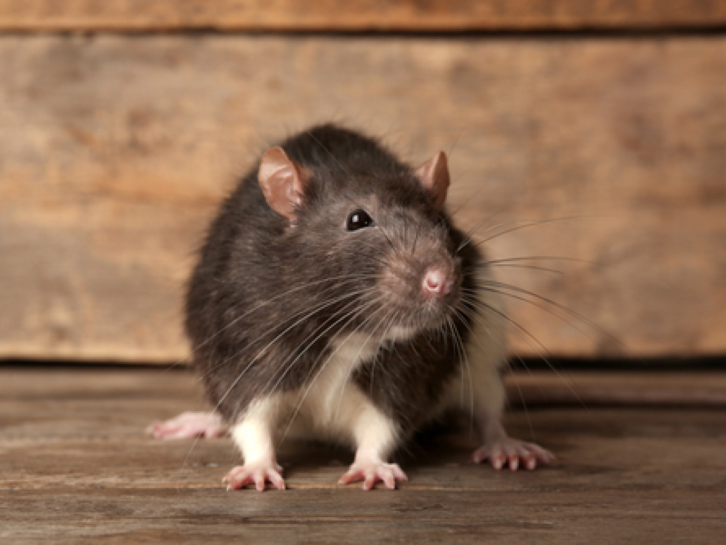 Keep Rodents Away From Your Home or Office